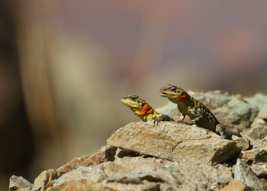 A pair of Himalayan Rock Agama